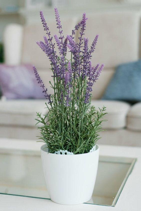 lavender plant for bedroom